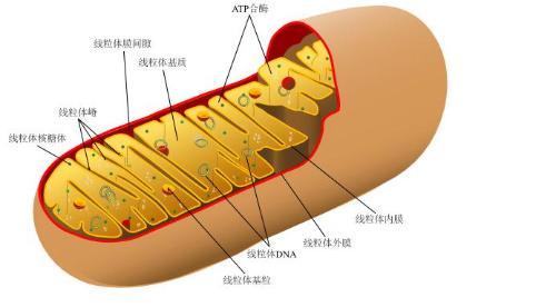线粒体并不像其它细胞结构