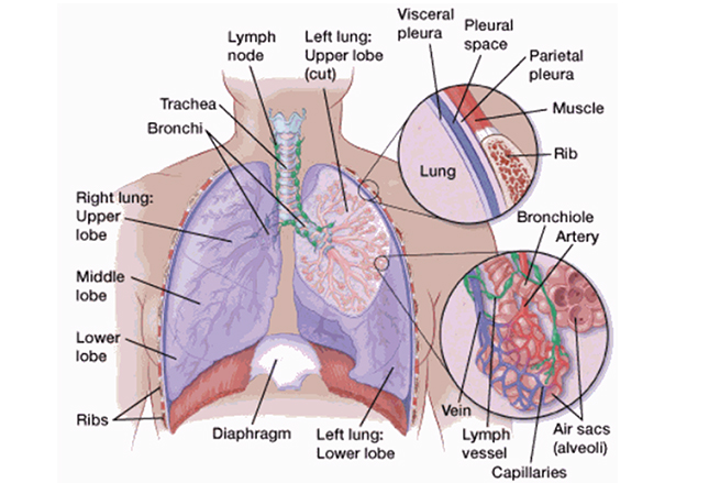 气管细胞结构图